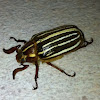 Ten-Lined June Beetle also known as Watermelon beetle