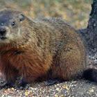 Woodchuck, Groundhog