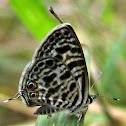 Babault's zebra blue