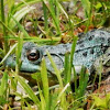 Blue color Green Frog