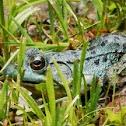 Blue color Green Frog