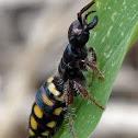 Native Flower Wasp