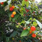 Pitanga - brazilian cherry