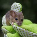 Fulvous Harvest Mouse