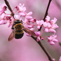 Bumble Bee on Red Bud
