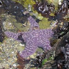 Ochre Sea Stars (one with small crab)