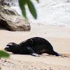 Hawaiian Monk Seal (Pup)/ 'ilioholoikauaua