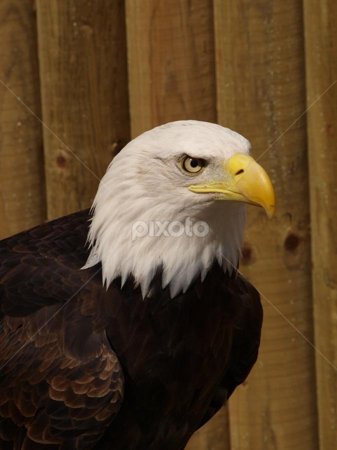 Display3 by Garry Chisholm - Animals Birds ( bird, eagle, raptor, chisholm, garry )