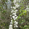 Bridalwreath Spiraea