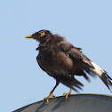 common bird