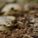 calamaria reed snake