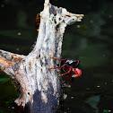 Mangrove root crab