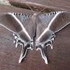 Tropical Swallowtail Moth