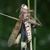 Carolina Grasshopper (infected with a fungus)
