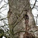 European pine marten