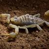 giant hairy scorpion