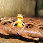 Bosca's newt,Tritão de ventre laranja