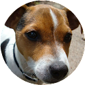 Jack Russell Terrier Wallpaper icon