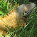 Green Iguana, Red Phase
