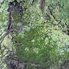 Lichens on Coast Live Oak Trunk