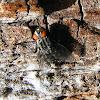 Tachnid Fly