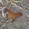 Daggerwing Butterfly