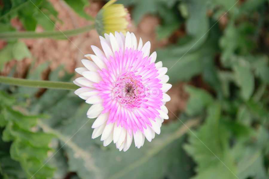 Bunga Krisan Putih Single Flower Flowers Pixoto