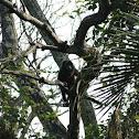 Guatemalan Howler Monkey