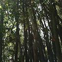 Beechey bamboo
