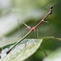 Jumping-stick grasshopper