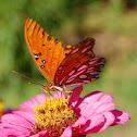 Western Gulf Fritillary Butterfly