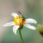 Halictidae Bee