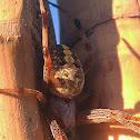 Common Orb Weaver