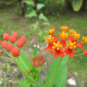 Mexican Butterfly Weed, Blood-flower, Scarlet Milkweed - Asclepias curassavica