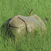 Indian Rhinoceros/Greater One-horned Rhinoceros