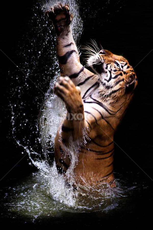 jump tiger by Ivan Lee - Animals Lions, Tigers & Big Cats ( water, grab, tiger, splash, king, jump,  )