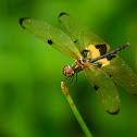 Yellow-Barred Flutterer
