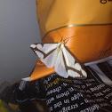 Leconte's Haploa Moth
