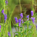 Blue porterweed or Indian Snakeweed