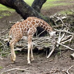 Grazing Giraffe by Nikki Kean - Animals Other Mammals ( spots, zoo, grass, giraffe, branches )