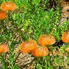 Leucospermum Cordifolium Rourke