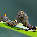 Gonodonta caterpillar