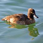 Tufted Duck (female) - Fuligule morillon