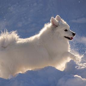 A Softer Side by Melanie Melograne - Animals - Dogs Portraits ( seasonal, winter, american eskimo, cold, pet, snow, vapor, outdoor, white, dog )
