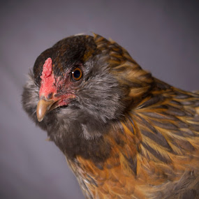 HENry by Amy Woldrich - Animals Birds ( chicken, oregon, orange, portland, poultry, free range, brown, chickens, egg, flock, easter egger, hen,  )