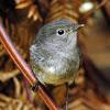 Stewart Island Robin or Toutouwai