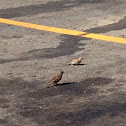 Sparrow m. & f.