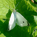 Cabbage White Butterfly (Male)