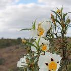 Flor de Esteva