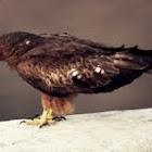 Black winged Kite